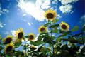 向日葵がくれた日陰