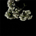 漆桜 (しつおう)