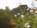 赤羽自然観察公園 古民家とコスモス