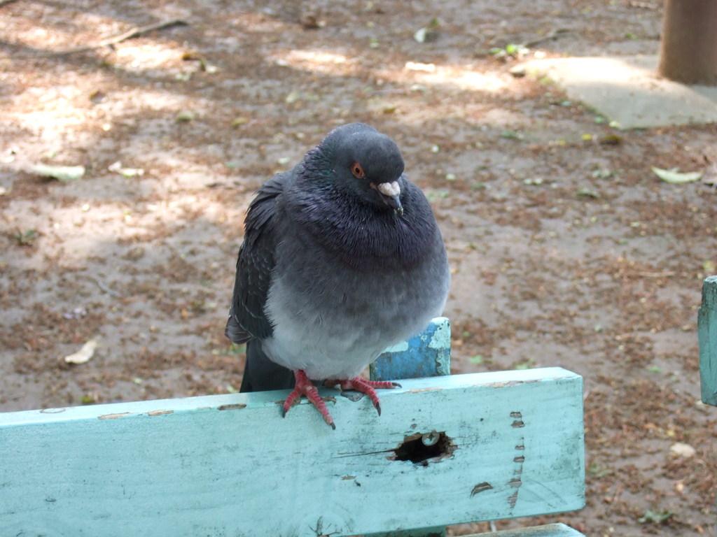 ベンチに鳩 (正面)