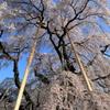 三春滝桜6