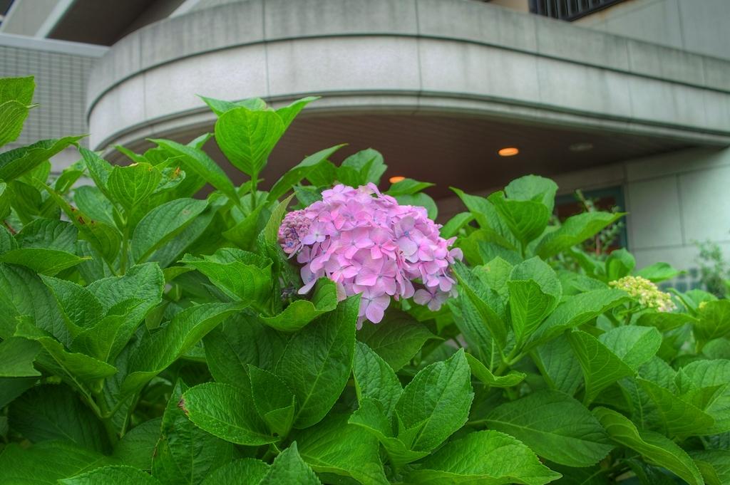 近所の紫陽花1