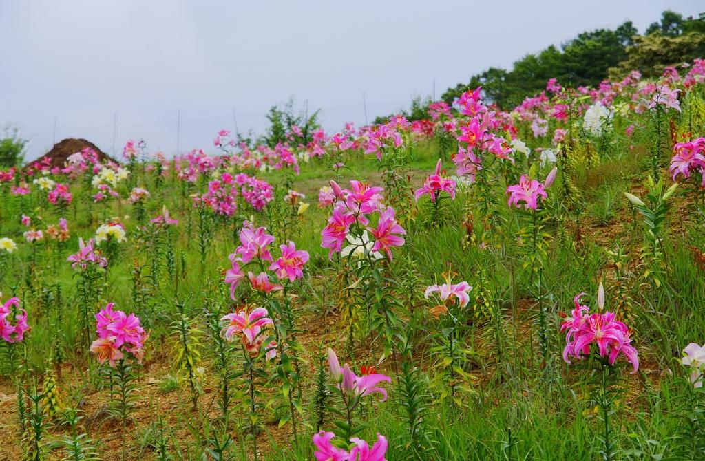 箱館山ゆり園にて1