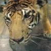 上野のトラ
