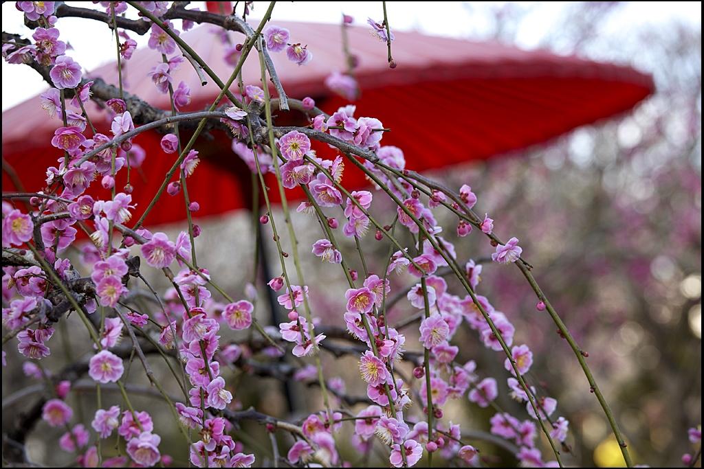 梅の花 IMG_2015m