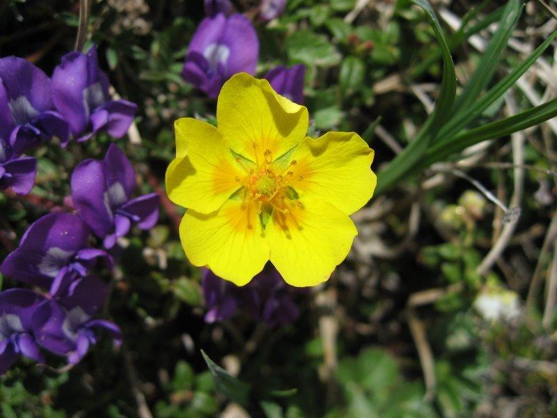 駒ヶ岳の高山植物2