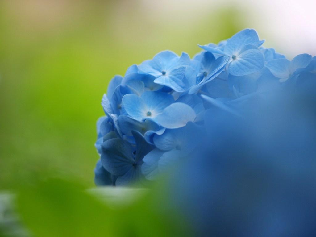 青いアジサイ 1