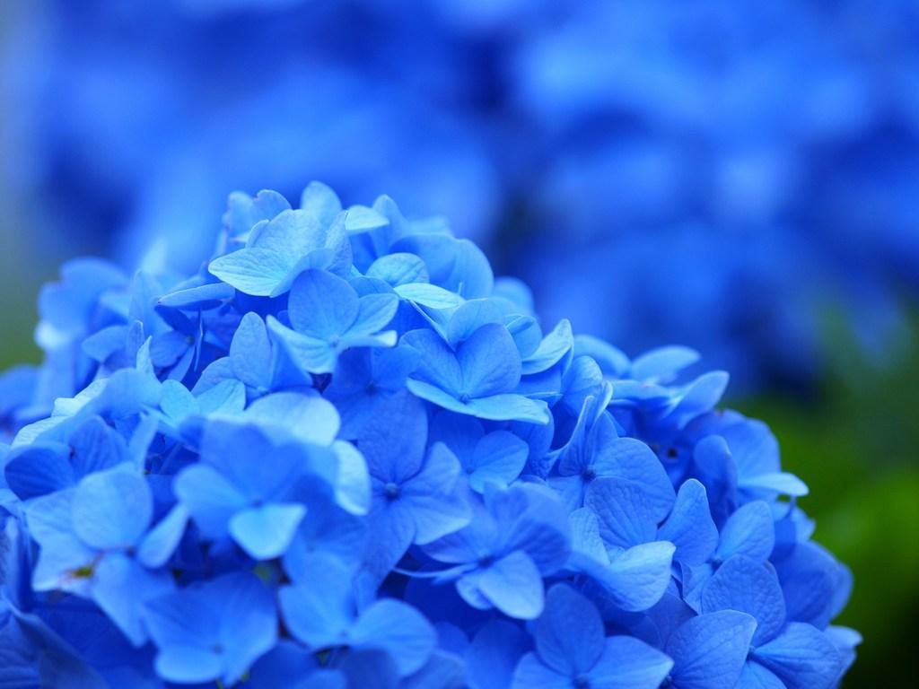 青いアジサイ 4