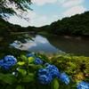 青いアジサイ 6