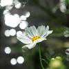 煌めく秋桜