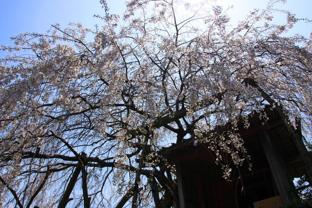 見上げる石畳の枝垂れ桜