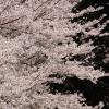 桜咲き乱れ