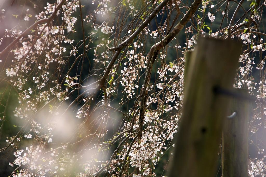 内子石畳のしだれ桜