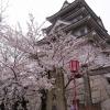 墨俣城の桜