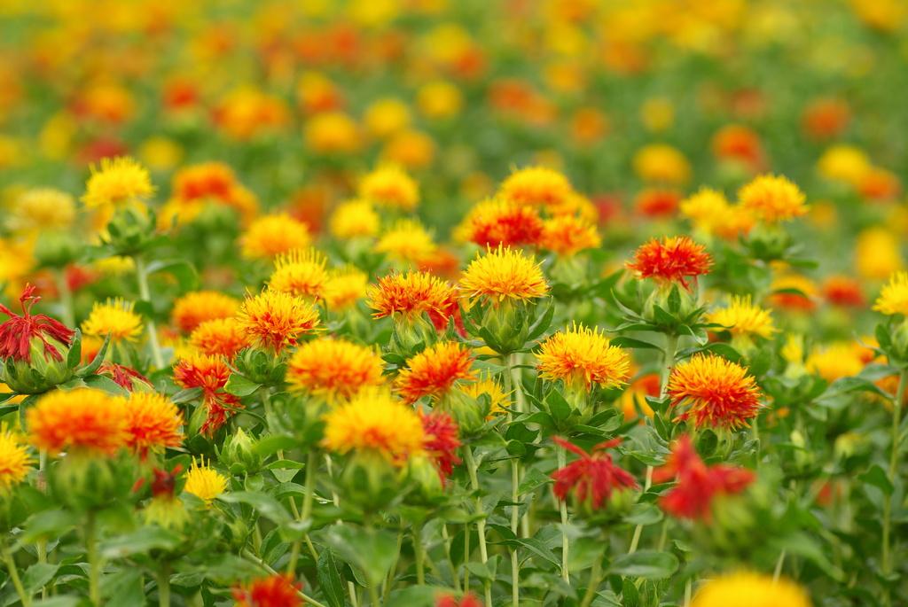 黄金のお花畑