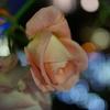 師走の薔薇