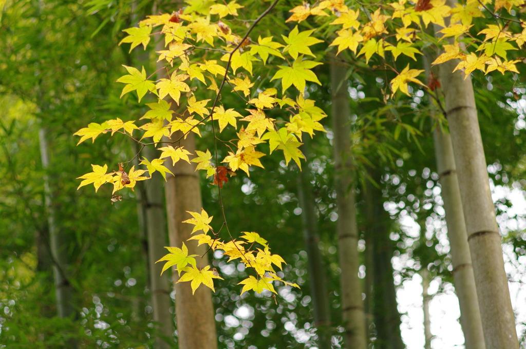 竹林に紅葉