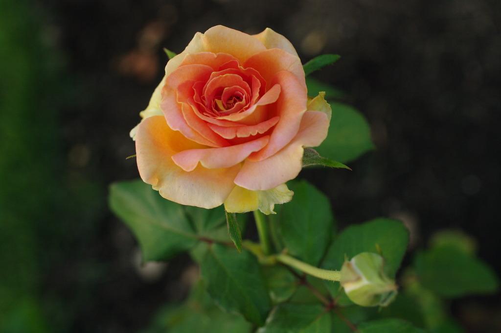 残暑のバラ
