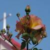 薔薇と十字架