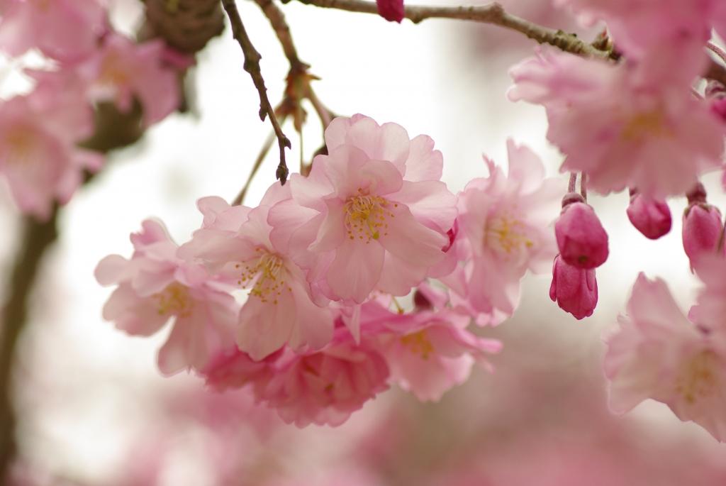 龍野城址の枝垂れ桜