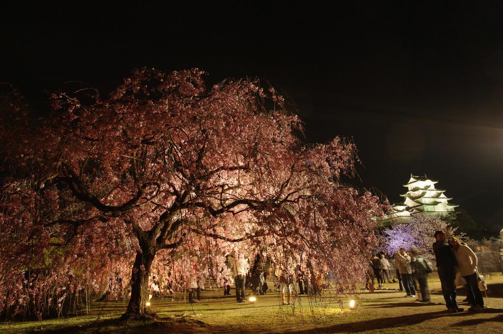 枝垂れ桜と白鷺城