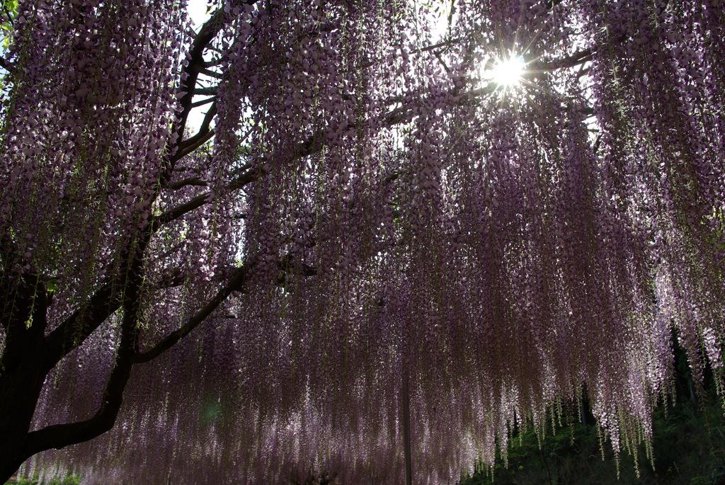 紫が降りそそぐ