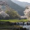 芦屋川 桜