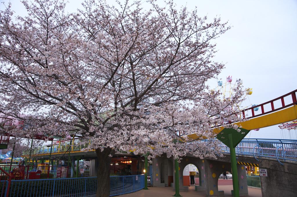 王子動物園 桜