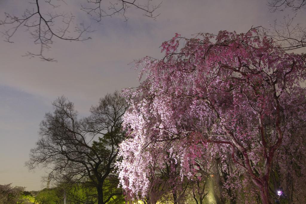 万博記念公園 枝垂桜