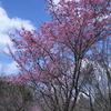 京都府立植物園 桜