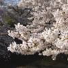夙川桜 2011