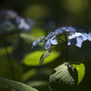 須磨離宮 紫陽花