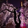 東京タワーさくら開花ピンクダイヤモンドヴェールと枝垂れ桜