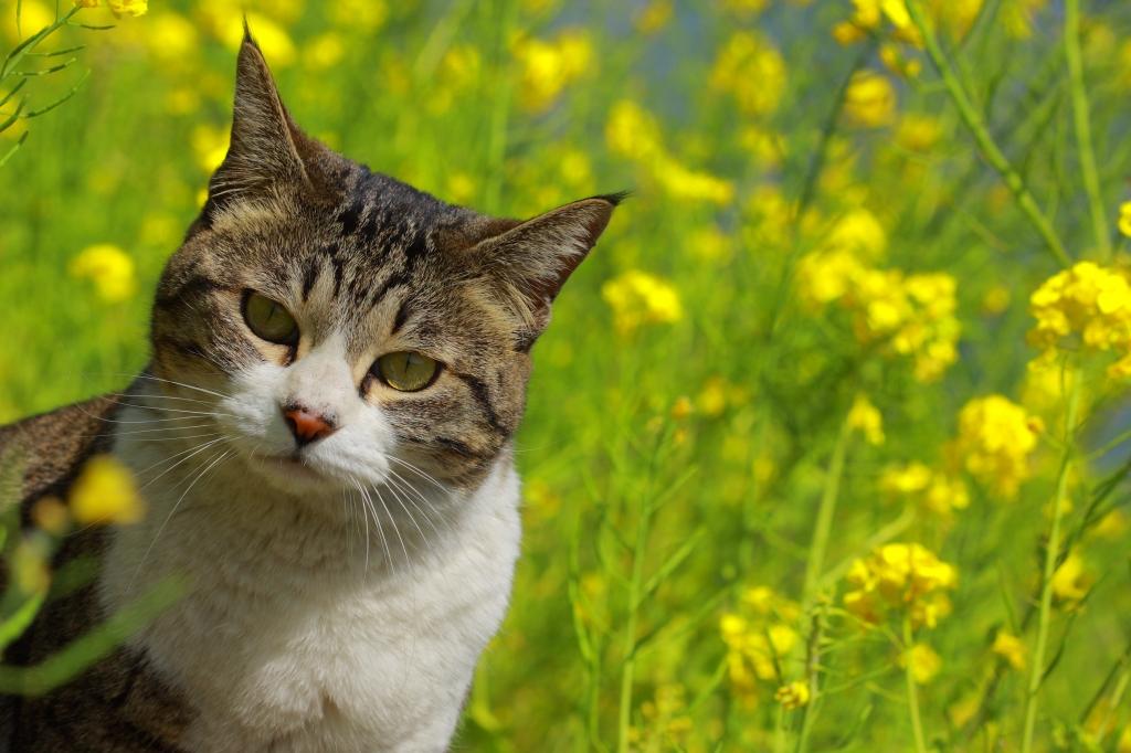 菜の花をバックに猫