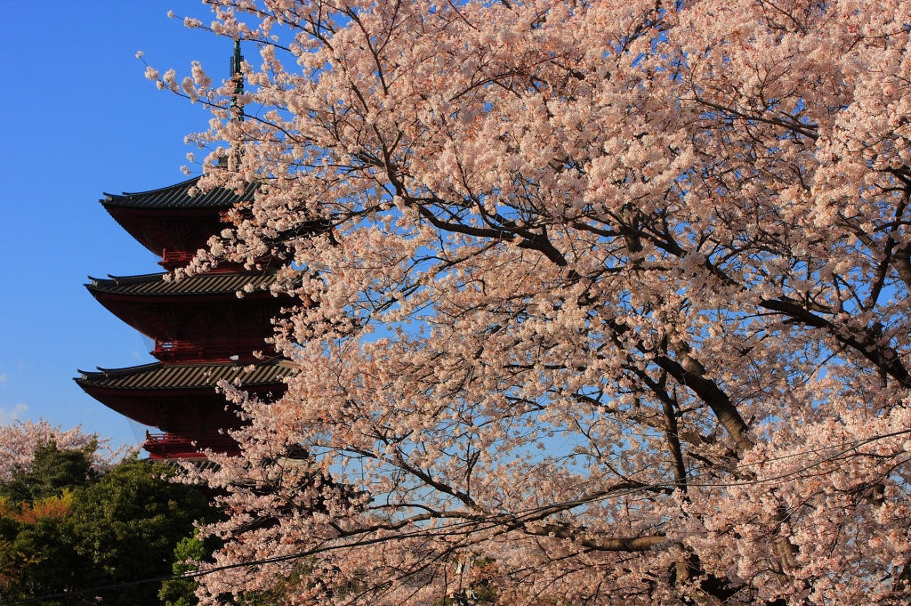 池上本門寺五重塔と満開の桜