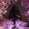 ライトアップされた東京ミッドタウンの桜