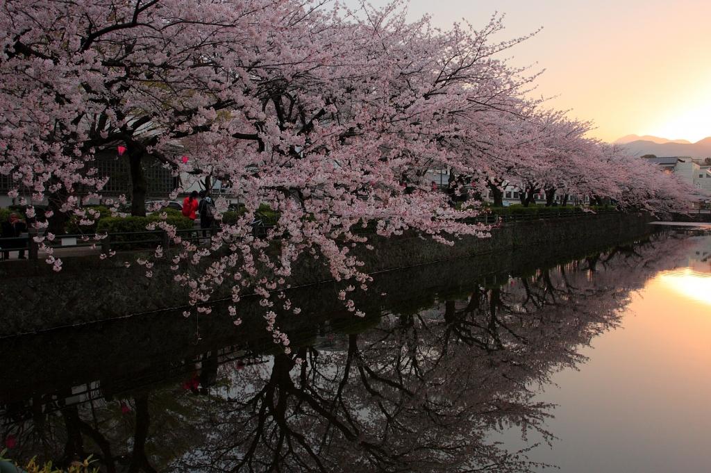 小田原城址公園の桜並木