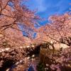 東宝スタジオ桜のライトアップ