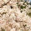 金剛山はまだ咲いてます♪