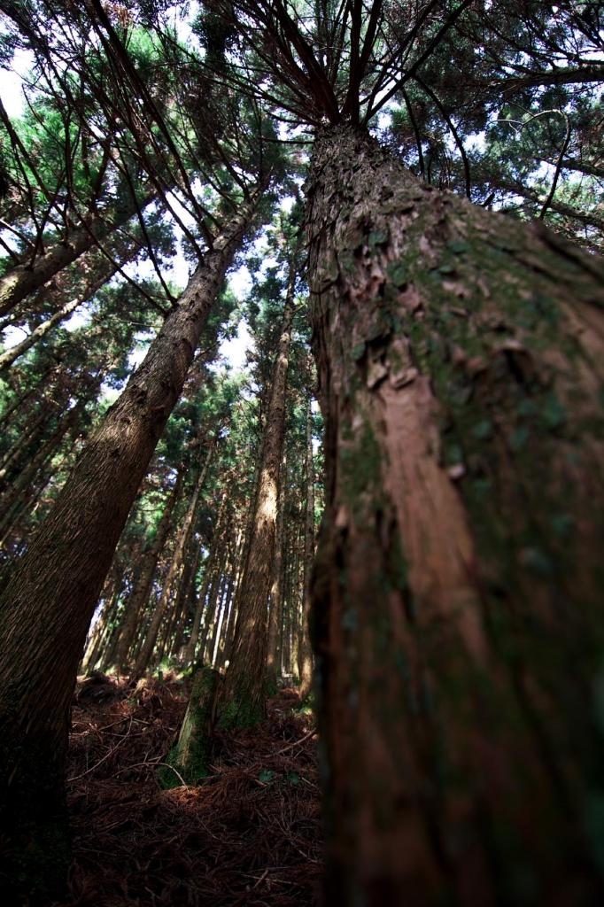 金剛山の杉