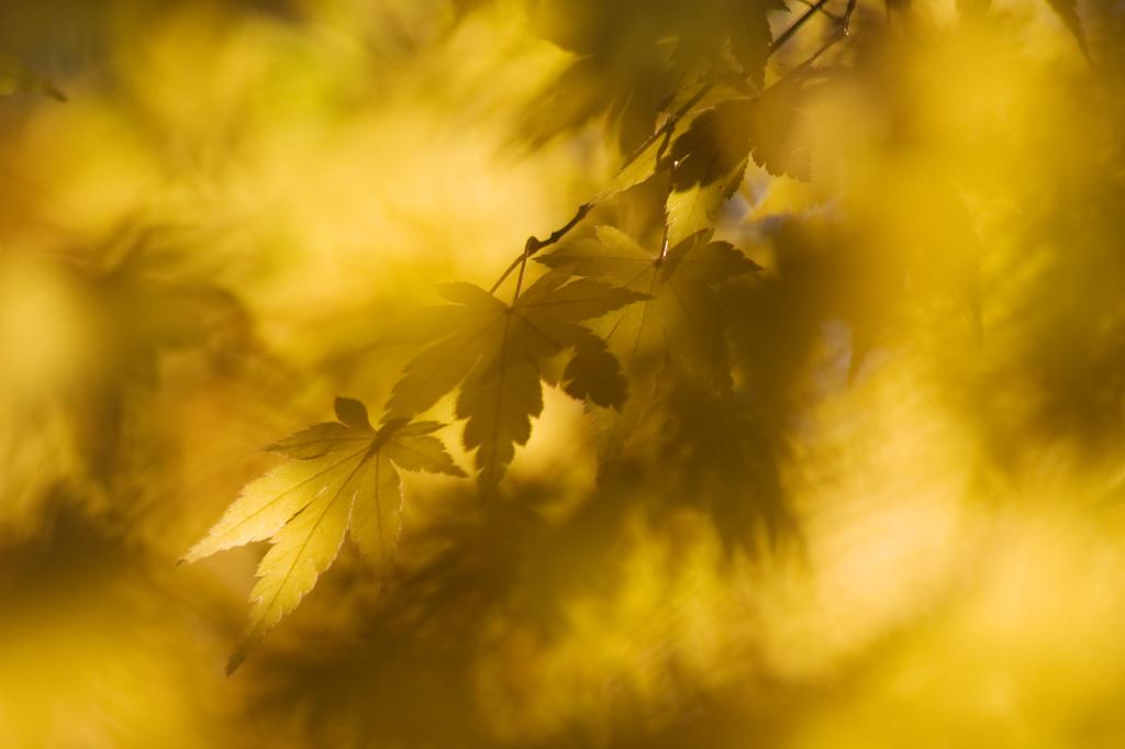 636黄金の葉
