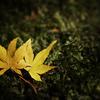 584黄色の落ち葉