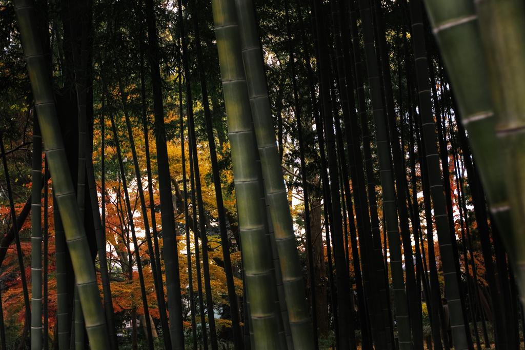 645黄葉と竹林