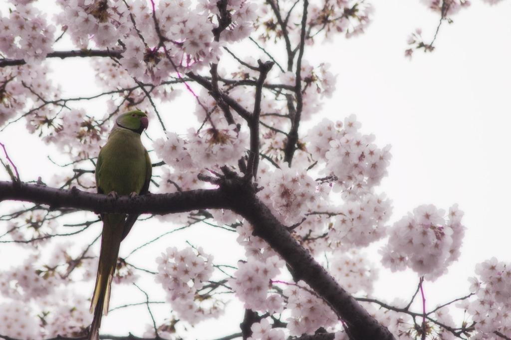 インコの見る桜