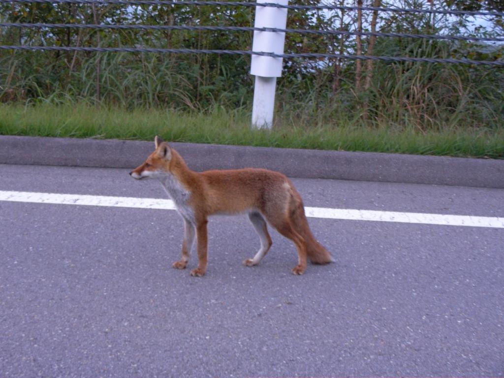 ビーナスラインの狐