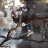 川崎大師の梅の花