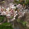 桜と用水路