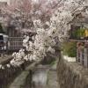 二ケ領用水の桜