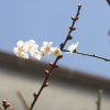 ちらほら梅の花が・・・