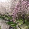 桜の花は・・・